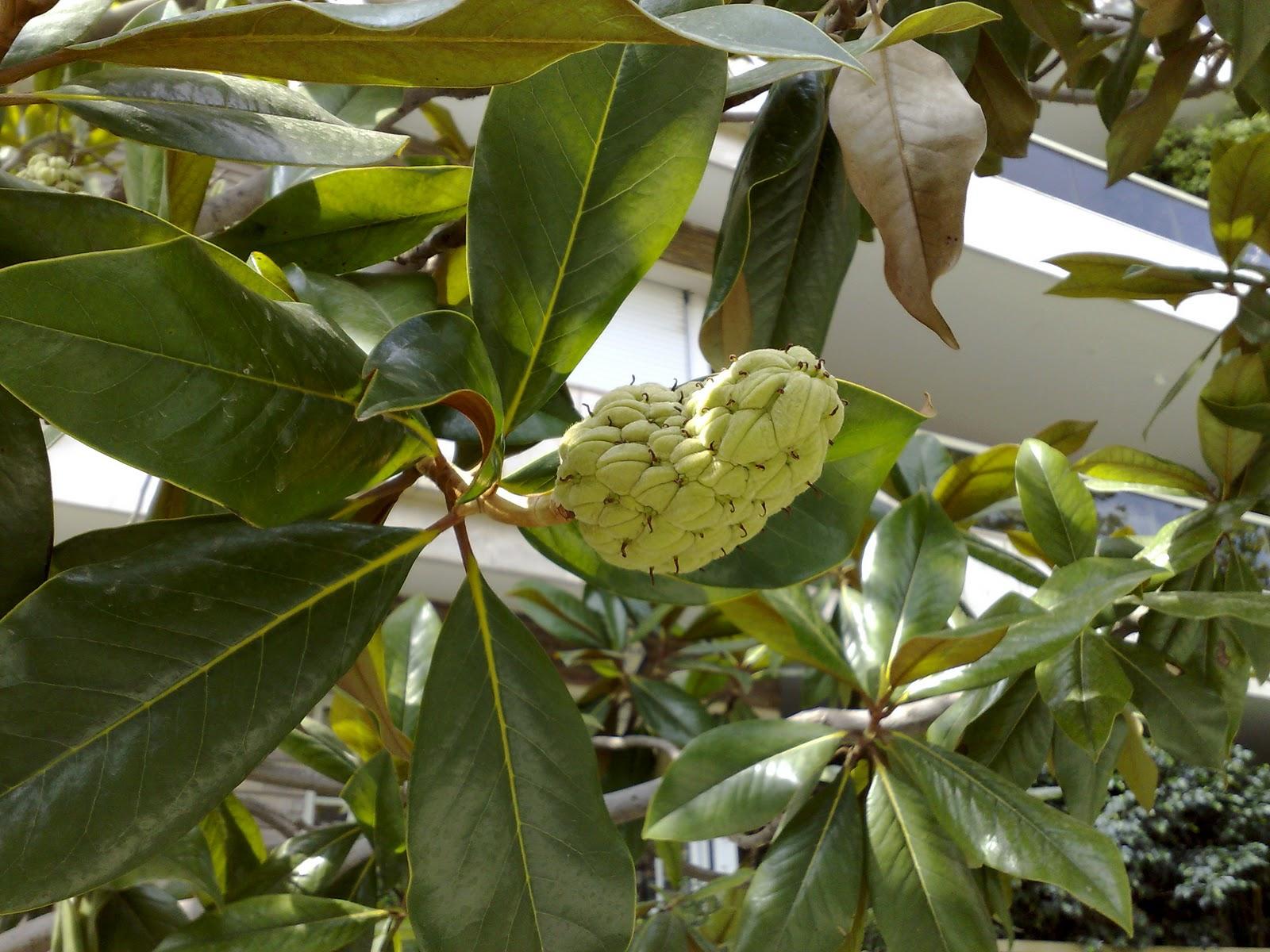 Rboles con alma magnolia magnolia grandiflora - Semilla de magnolia ...