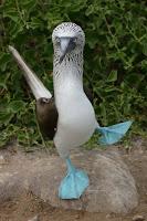 Alcatraz de patas azules