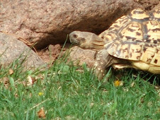 Chui, the leopard tortoise