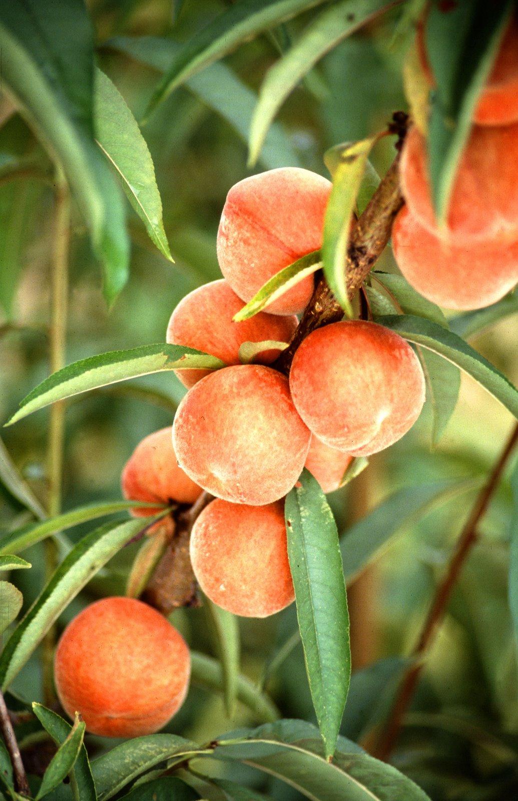 [peaches.jpg]