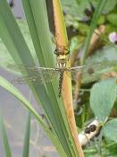 Libellen-Nachwuchs