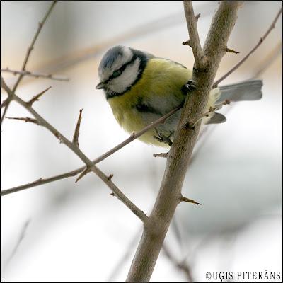 Zilzīlīte (Parus caeruleus)