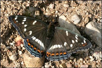 Apšu raibenis (Limenitis populi)