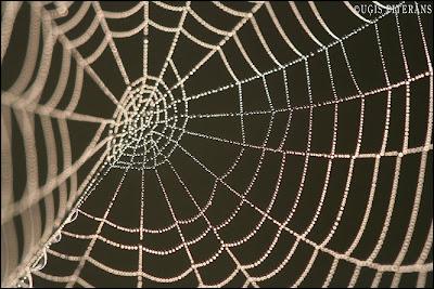Zirnekļa tīkls rasā