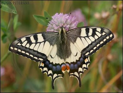 Čemurziežu dižtauriņš (Papilio machaon)