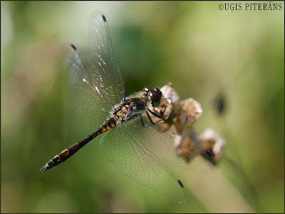 Melnā klajumspāre (Sympetrum danae)