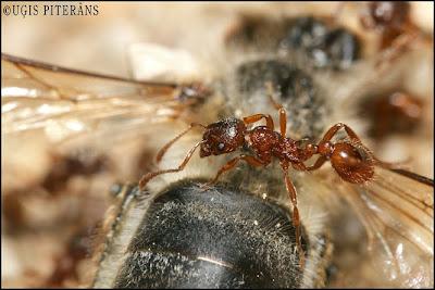 Sarkanā skudra (Myrmica sp.) pie beigtas bites