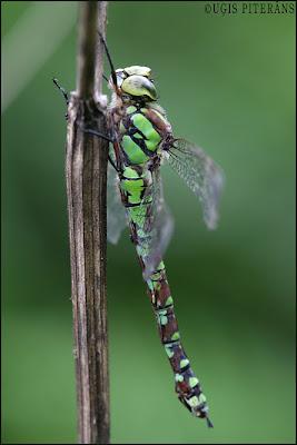 Zilzaļā dižspāre (Aeshna cyanea)