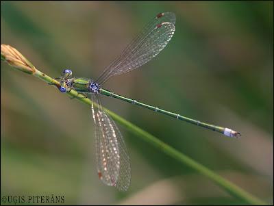 Zaļganā zaigspāre (Lestes virens)
