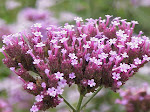 Lovely Verbena