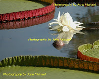 White+ +Victoria Kenilworth Aquatic Gardens   The VICTORIA Waterlily