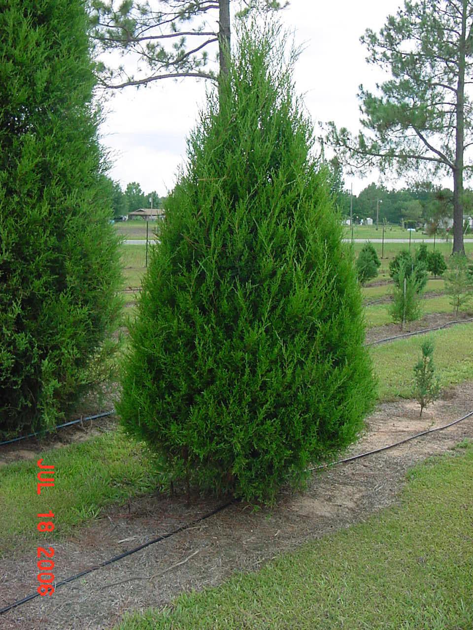 Southern Red Cedar ~ C est la vie en chez lee