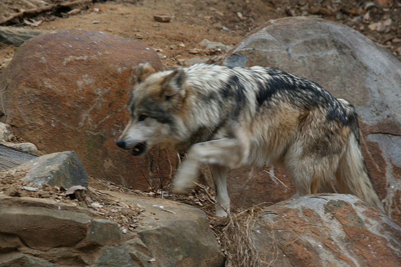 dog Mexican Wolf Smithsonian Zoo 2007