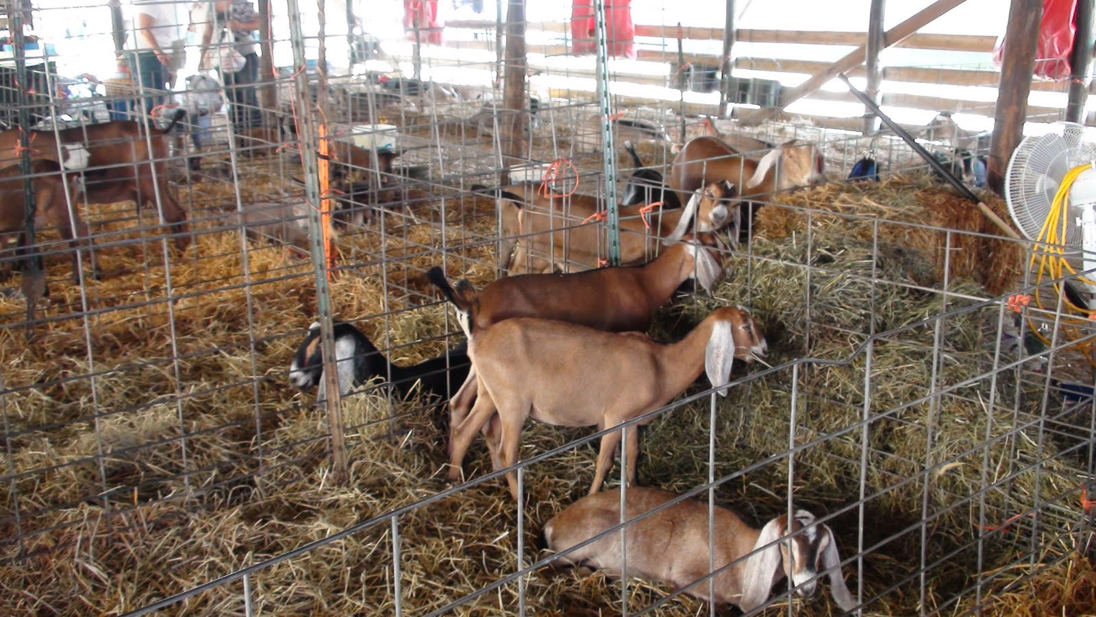 Illinois will county peotone - Goats Eat Hay At The Will County Fair In Peotone Illinois