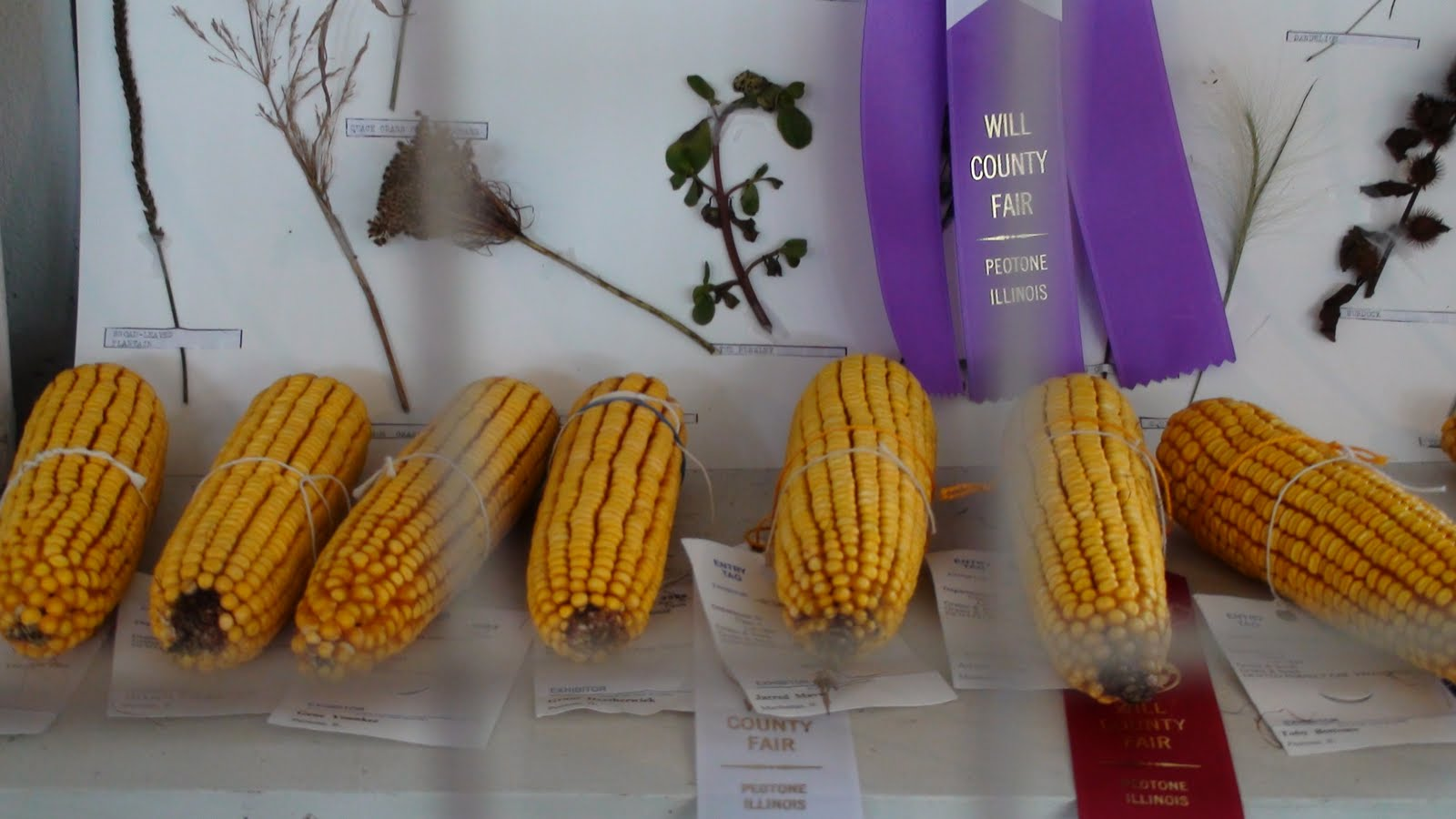 Illinois will county peotone - Award Winning Corn At The Will County Fair In Peotone Illinois