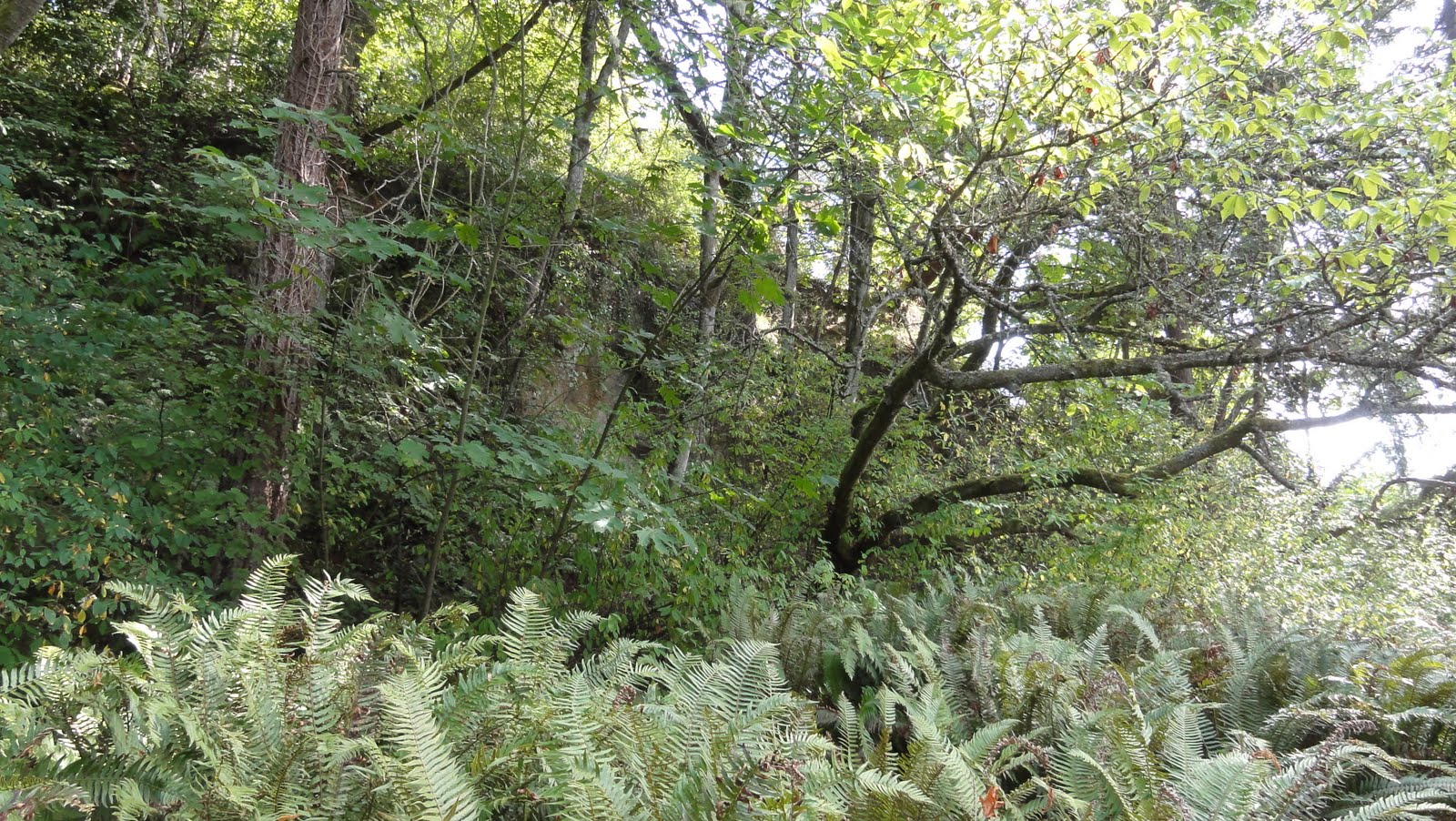 Image shows a short cliff behind a lot of sword ferns, young skinny trees, and other plant life.