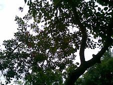 Pohon Dadap Merah