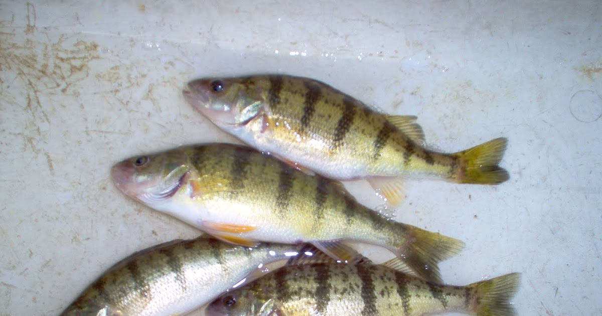 Robfisherie perch season underway in erie pa for Plenty of fish erie pa