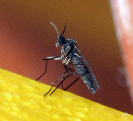 Fungus gnat with closed wings