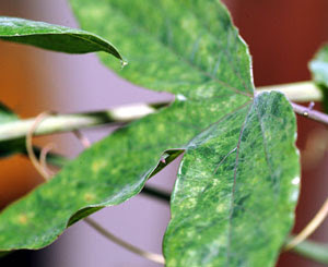 Typical discoloration and deformation of a mealybug-infested passiflora leaf
