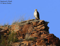 Swainson's Hawk youngster