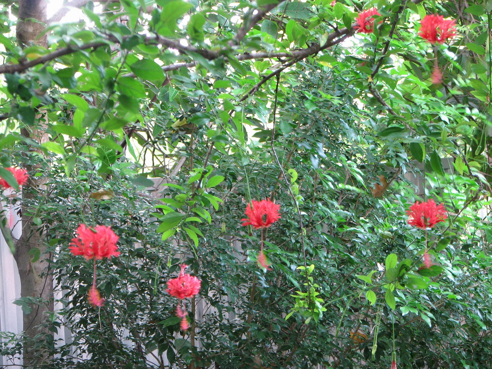 My dry tropics garden hibiscus schizopetalus japanese for Japanese garden plants and trees