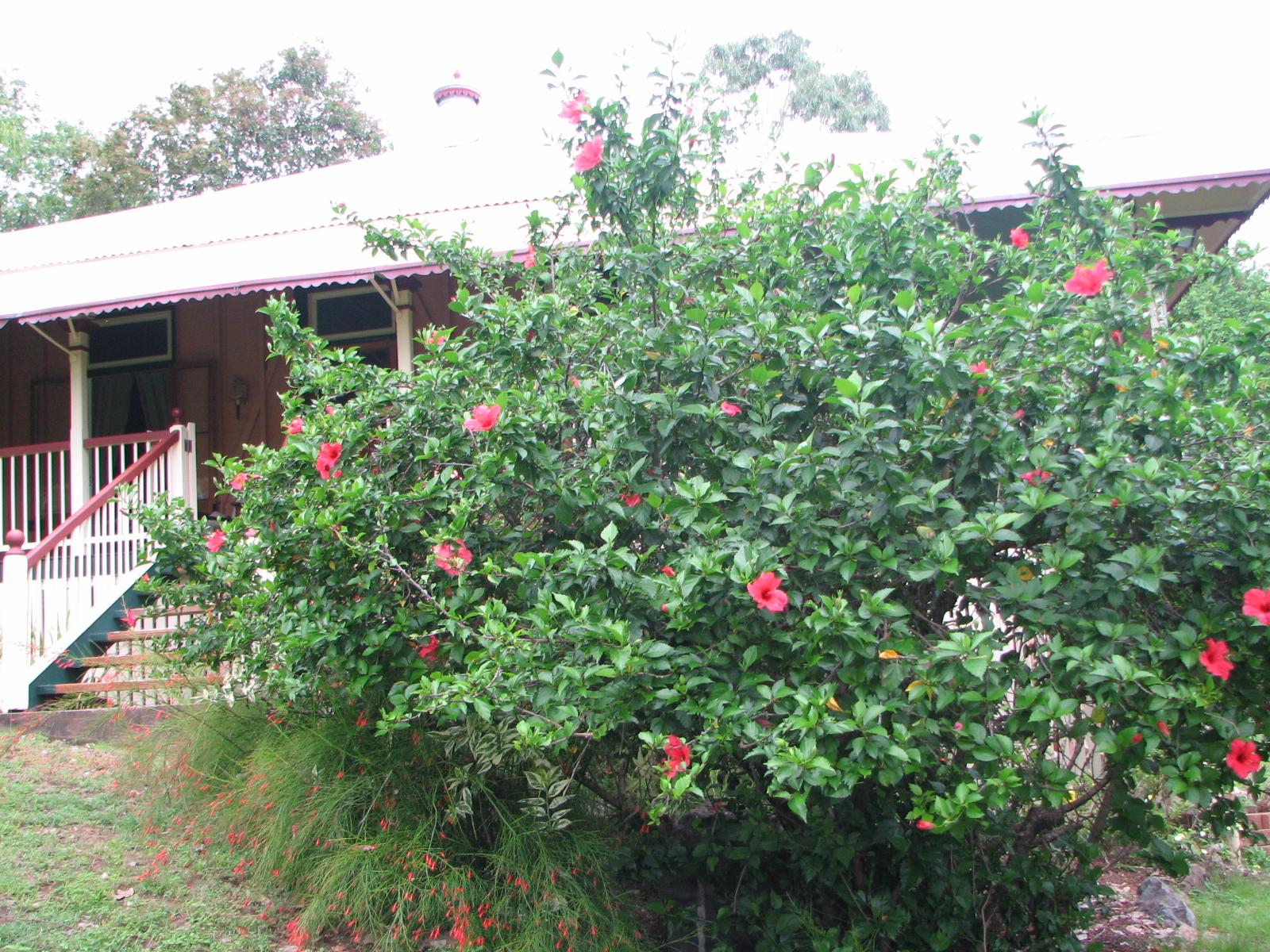 My dry tropics garden hibiscus rosa sinensis izmirmasajfo