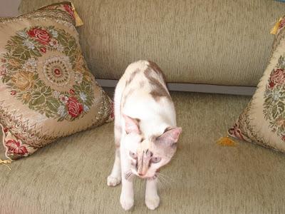 Gata Lili conferindo o sofá novo