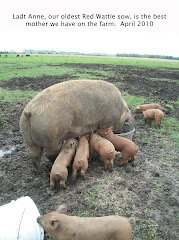 Lady Anne and piglets