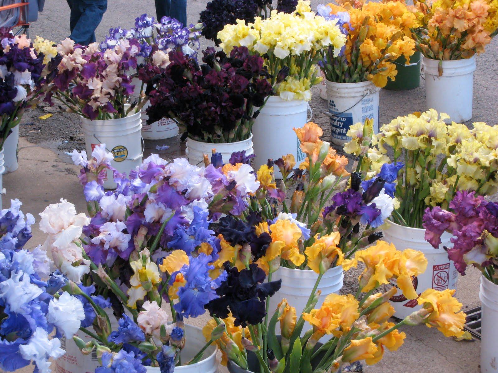 Durham council of garden clubs flower profile the bearded iris flower profile the bearded iris iris germanica izmirmasajfo Gallery