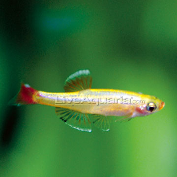 Golden White Cloud Freshwater Fishs