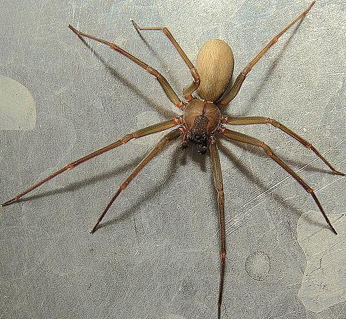 Las 5 arañas mas venenosas del planeta Violin