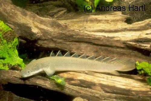 polypterus senegalus bac mini Polypterus+Senegalus+03