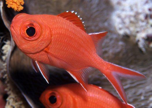 Aqu rio virtual squirrelfishes for Big eye squirrel fish