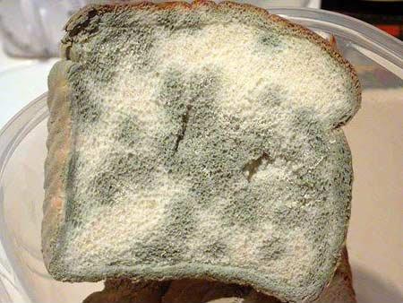 Moho del pan nombre cientifico