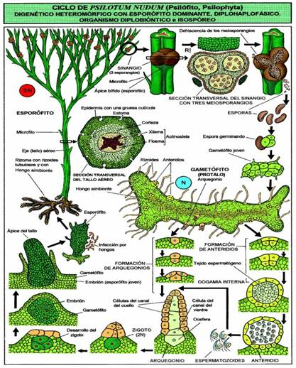 PractricadeBiologiav B)PLANTAS VASCULARES
