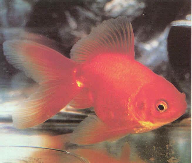 Peces ornamentales peces ornamentales for Reproduccion de peces ornamentales