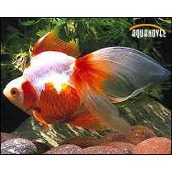 Peces ornamentales peces ornamentales for Peces ornamentales