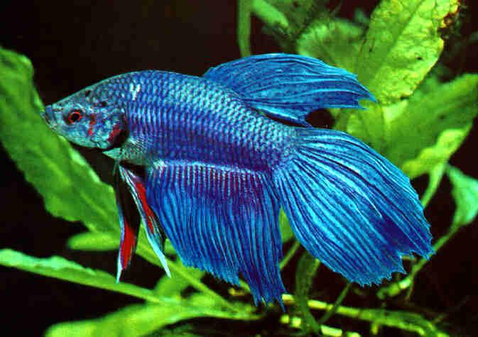 Peces ornamentales for Reproduccion de peces ornamentales
