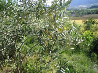 Olivo con algunas hojas pachuchas