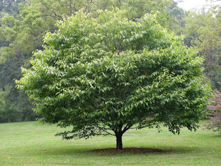 ¿QUÉ ARBOL ERES TU? 800px-Hornbeam_Maple_Acer_carpinifolium_Tree_3264px