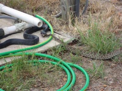 black snake eats rattler