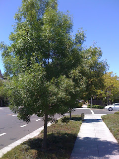 Fraxinus as a street tree