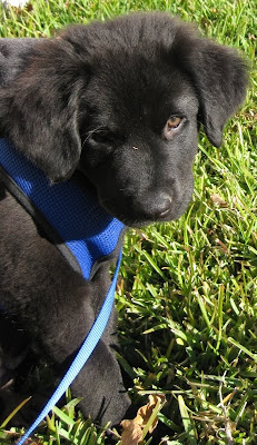 Picture of our black Lab Newfoundland mix at 3 months