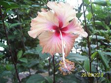 Bunga  Raya...