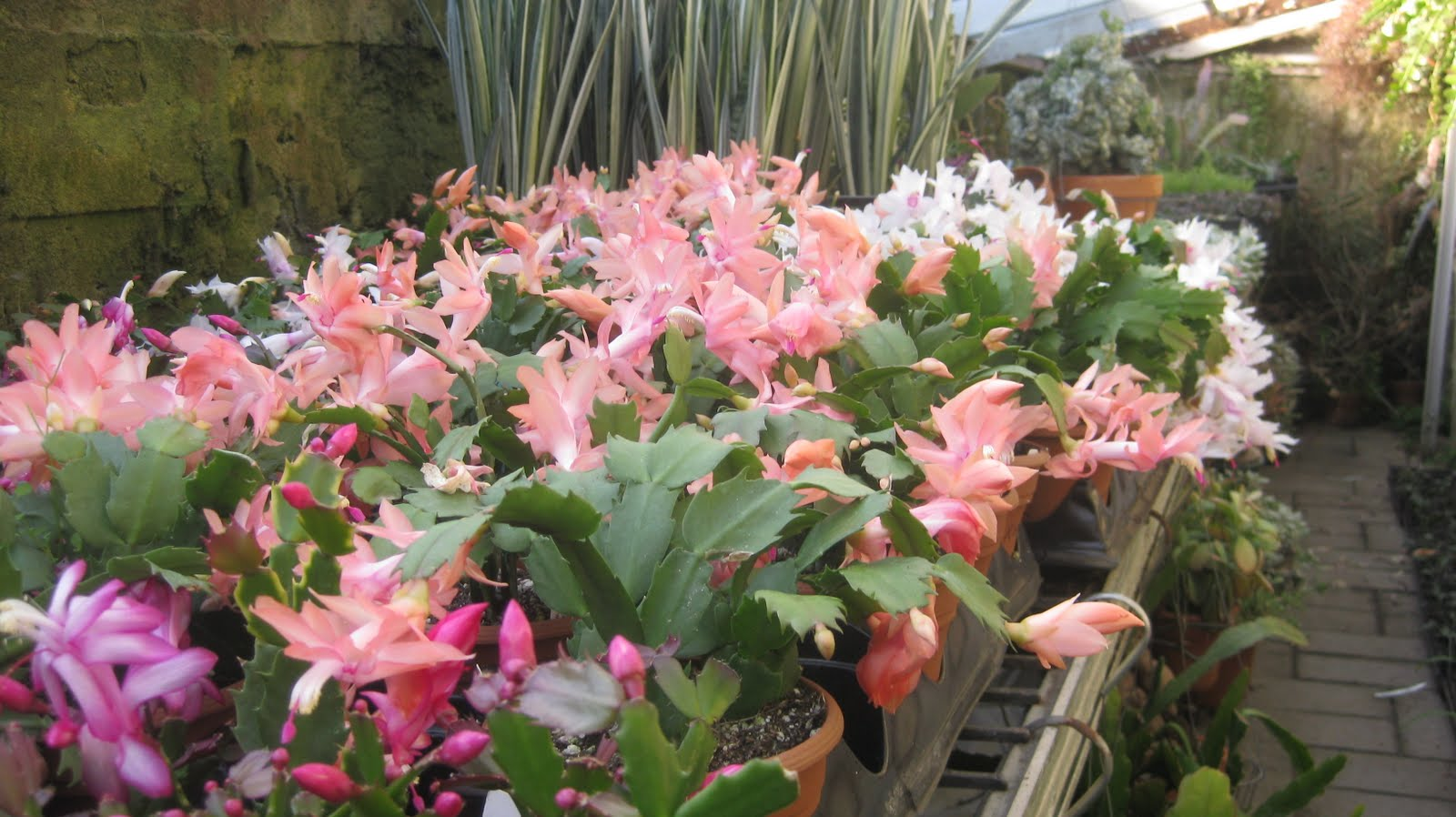 how to get a christmas cactus to bloom in december