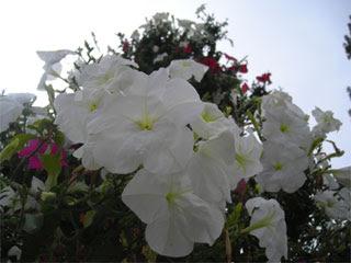 Беленькие цветы в Королеве