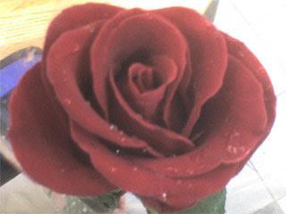 Симпатичная роза