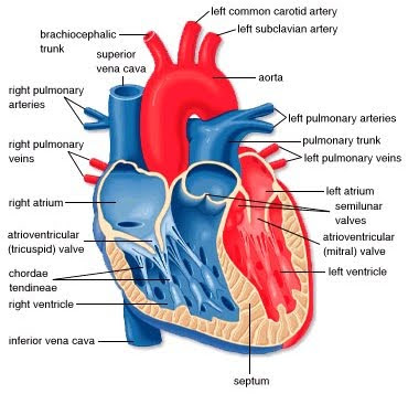 Apptya health heart and circulatory system the heart is the key organ in the circulatory system as a hollow muscular pump its main function is to propel blood throughout the body ccuart Gallery