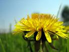 Dandelion Wine - Herbs and Wine a Combination for Health